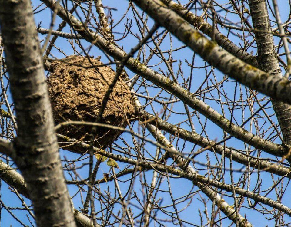 vespa asiàtica (1)