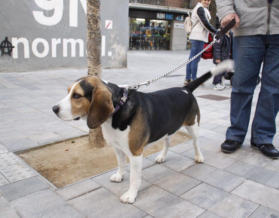 gos passejant Rubí