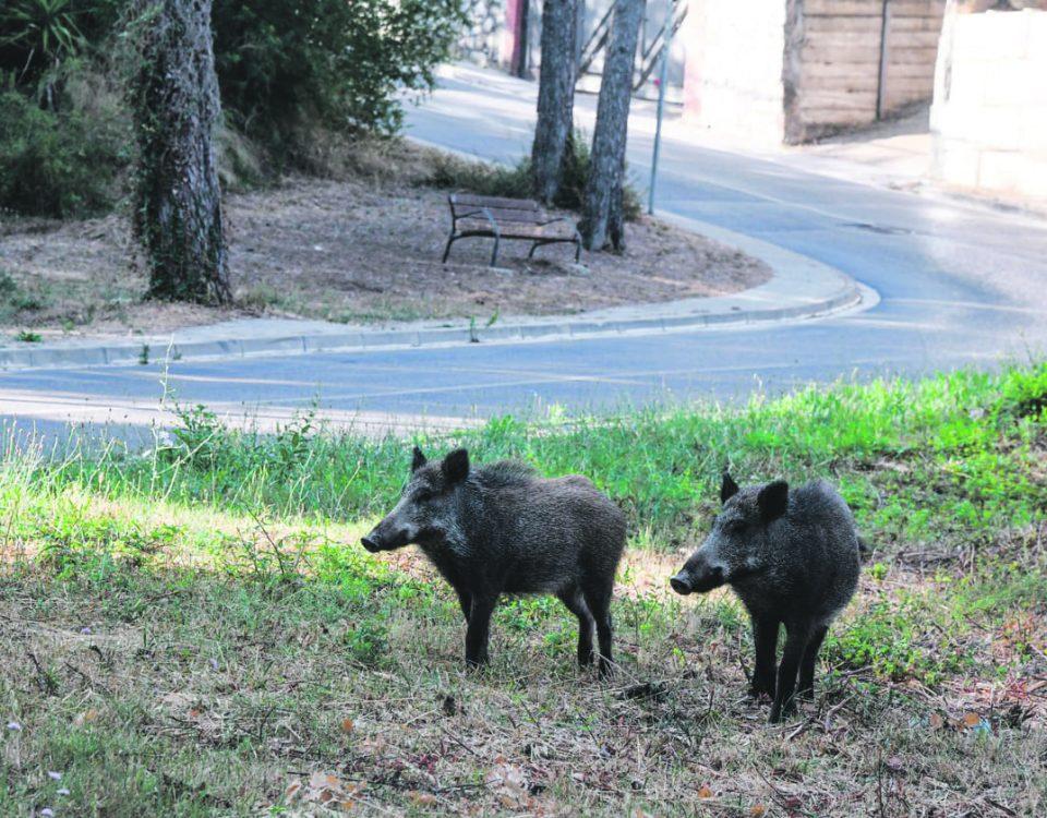 porc senglars